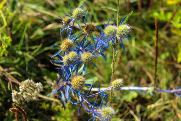Close-up of field thistle with a blue stem