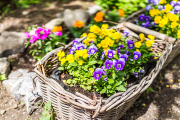Wall Murals Pansies Macro closeup of purple and yellow pansy flowers in woven basket on summer porch
