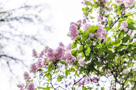 Pink and purple lilac flowers on tree during rainy wet day isolated in northern climate against sky