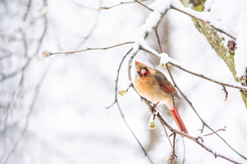 Puffed up angry fluffing funny one female red northern cardinal, Cardinalis, bird perched on tree branch during cold winter in Virginia, snow
