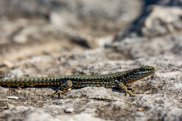 Closeup with selective focus on the green and brown body of a small lizard taking sun warmth in a sunny autumn day on a rock in Bulgaria