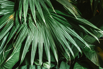 Palm leaves dark green background, plants grown in the Botanical garden