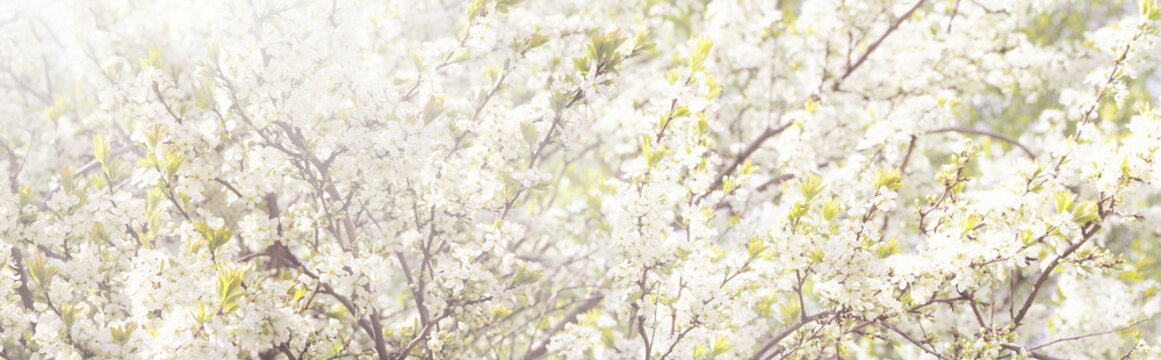 Spring blooming garden, toned spring background. Orchard, panoramic view, sunlight