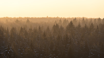 Spruce coniferous misty forest covered with snow in winter season in golden sunset sunrays. Aerial front view