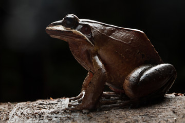 Frog, leptodactylus rhodonotus a low key image with backlight of a tropical amphibian in Amazon rain forest