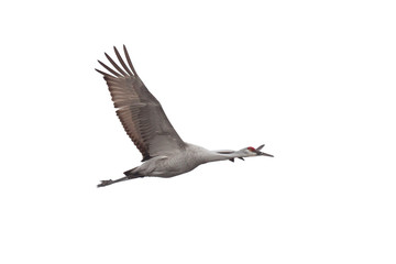 A Sandhill Crane Soars on a White Background