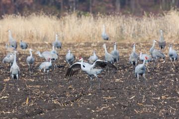 Sandhill Cranes in the Farm