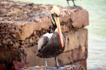 pelicans in flight in the reserve of Paracas in Peru