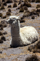 Alpacas in Peru. A pet that produces a very fine wool