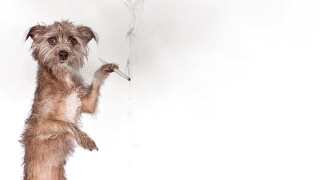 Funny Medical Marijuana Web Banner With Dog