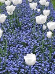 Aluminium Prints Tulip Tulpen , Tulip , Tulipe , Tulp ,Blume , Früling , Park , Тюльпаны