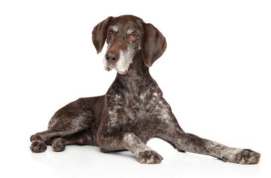 Aged Kurzhaar dog lying on white background