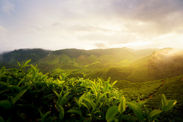 Amazing Malaysia landscape. View of tea plantation in sunset/sunrise time in in Cameron highlands, Malaysia. Nature background with foggy. Wall mural