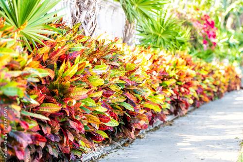 Vibrant codiaeum variegatum, petra croton, variegated plant leaf