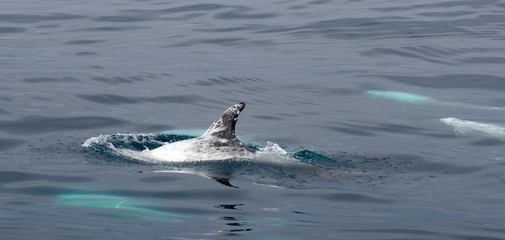 risso's dolphin in water