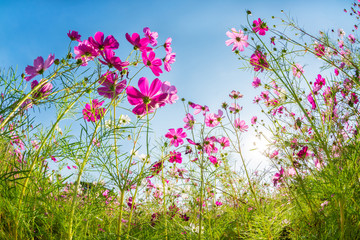 pink cosmos flowers on background of blue sky
