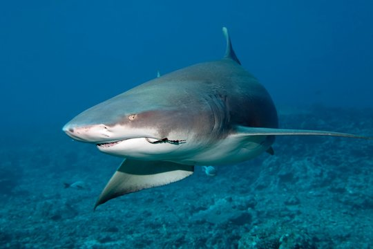 Sicklefin lemon shark (Negaprion acutidens) with fishing hooks in the mouth swims over coral reef, Pacific Ocean, Moorea, Leeward Islands, society islands, French Polynesia, Oceania