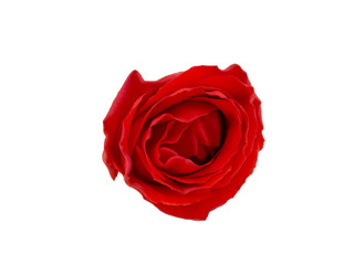 red rose isolated on white background, selective focus