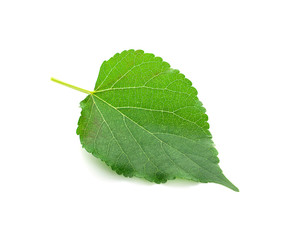 Mulberry leaf on white background.