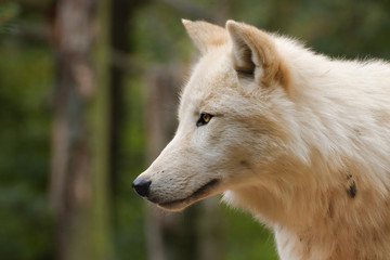 Fototapete - Face Arctic wolf in nature