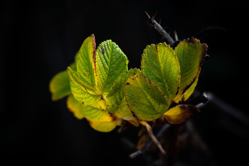 Hundsrose Blätter im Herbst