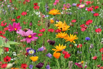 Blumenwiese mit Klatschmohn, Klatsch-Mohn (Papaver rhoeas), Kornblumen (Centaurea cyanus), Schwäbisch Gmünd, Baden-Württemberg, Deutschland, Europa Fotoväggar