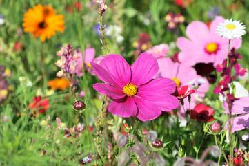 Schmuckkörbchen, Fiederblättrige Schmuckblume oder Kosmee (Cosmos bipinnatus syn. Cosmea bipinnata), in einer Blumenwiese, Schwäbisch Gmünd, Baden-Württemberg, Deutschland, Europa
