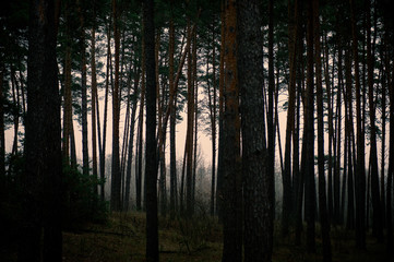 silhouettes of trees in a pine forest at dusk.