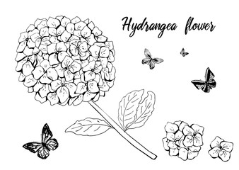 Hydrangea flower set with butterfly. black white sketch. Hand drawn detailed hortensia. isolated on white background.
