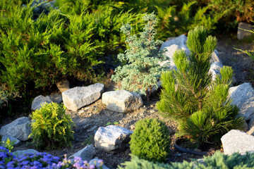 Thuja and little pine surrounded by stones