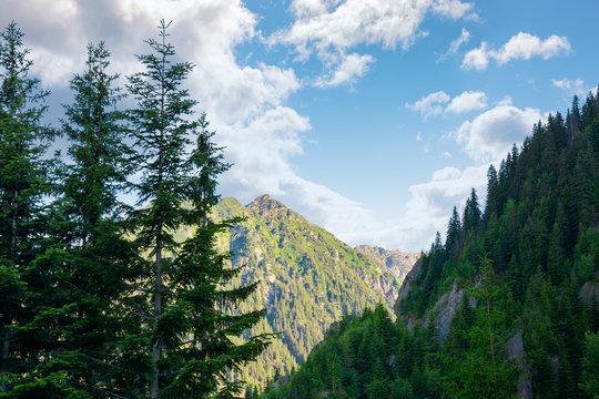 beauty of Fagaras ridge. Spruce trees on the rocky mountains. wonderful nature of Romanian Carpathians