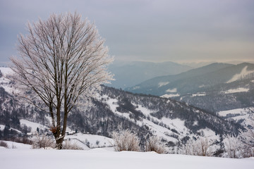 lovely winter scenery with tree in hoarfrost. gloomy and overcast weather