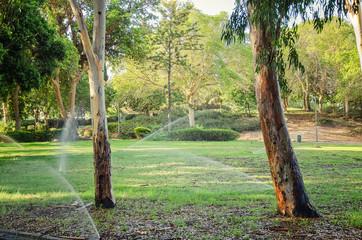 Morning watering in eucalyptus grove