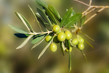 Branch with olives on olive tree