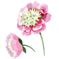 Pink peony watercolor background illustration set. Watercolour drawing fashion aquarelle isolated.