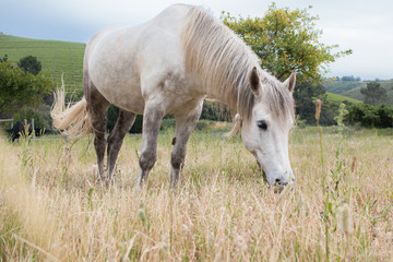 White work horse standing in a field head down and grazing full length.