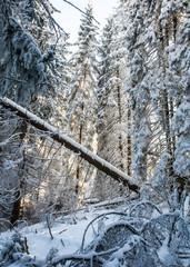 big fallen tree in snowy winter forest, sunlight through branches