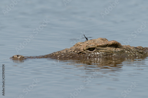 aea2f512d2ef Crocodile du Nil