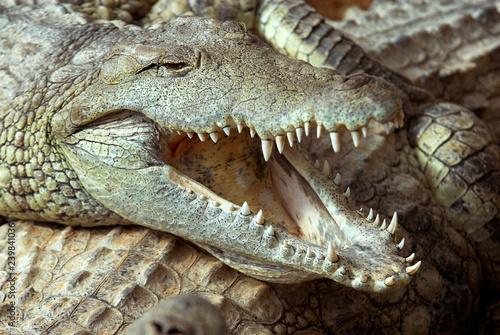 9105f8c6b569 Crocodile du nil  Crocodylus niloticus