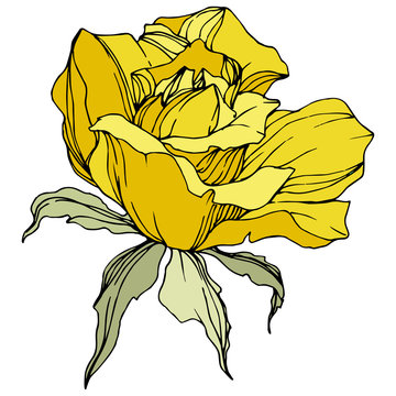 Vector Yellow rose flower. Green leaf. Isolated rose illustration element. Black and white engraved ink art.