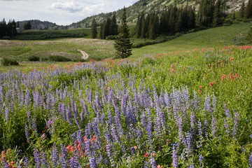 Albion Basin, Wasatch Mountains, Utah