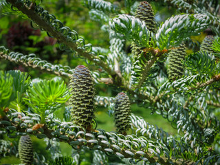 Close-up of young cones on the branches of fir Abies koreana Silberlocke with beautiful bokeh background. Selective focus. Nature concept for design