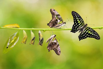 Tailed Jay (Graphium agamemnon) butterfly life cycle
