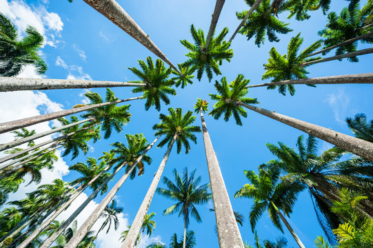 Scenic skyward view of avenue of tall royal palm trees soaring into bright blue tropical sky in Rio de Janeiro, Brazil
