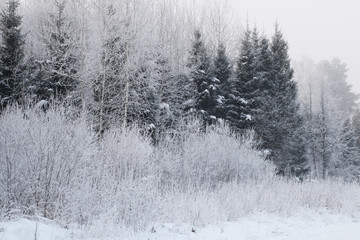 Nature background. Landscape of the winter forest.
