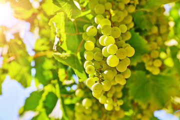 Vineyard with white grape cluster growing harvest for wine