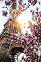 Fototapeta Blossoming magnolia against the background of the Eiffel Tower