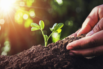 Wall Mural - farmer planting small tree with sunlight in nature. agriculture concept