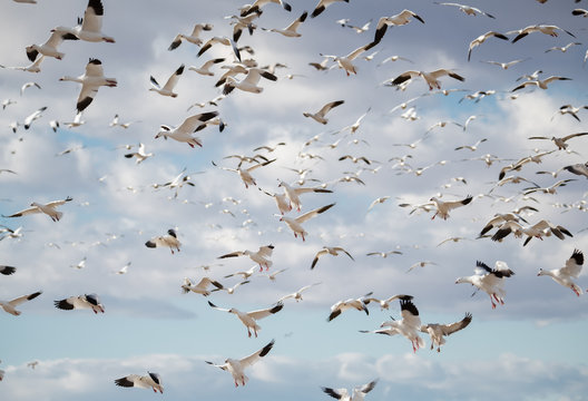 Flock of snow geese coming in for a landing