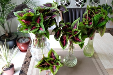 Stem cuttings from a Coleus plant in many different shaped glass vases. The variety is close to the 'watermelon' type.